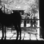 Uno de los animales participantes, ayer, en Grado.