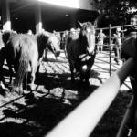 Caballos de una de las ganaderías participantes.